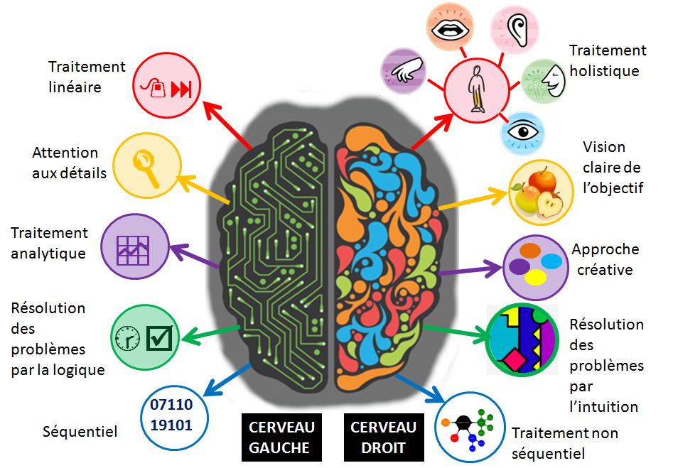Cerveau droit et cerveau gauche